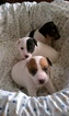 Pedigree Jack Russell Terrier Puppies