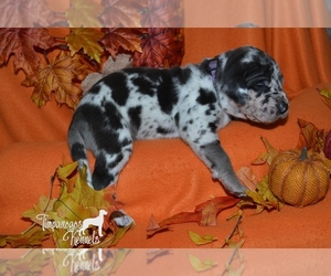 Great Dane Puppy for Sale in EAGLE MOUNTAIN, Utah USA