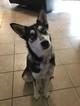 Alaskan Klee Kai Puppy For Sale in MESA, AZ, USA