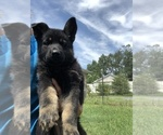 German Shepherd Dog Puppy For Sale in STRASBURG, VA, USA