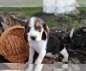 Beagle Puppy for sale in SHILOH, OH, USA
