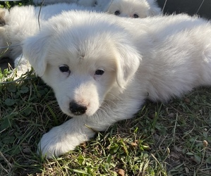 Great Pyrenees Puppy for Sale in DECATUR, Indiana USA