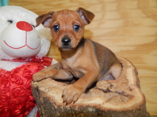 Mini Pinscher Mix type Puppies  Great For Kids
