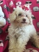 Maltese-Poodle (Toy) Mix Puppy For Sale in PUNTA GORDA, Florida,