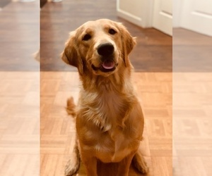Mother of the Golden Retriever puppies born on 11/11/2019