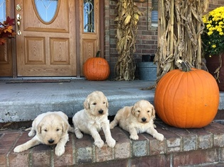Goldendoodle Puppy For Sale in BERRYVILLE, AR, USA