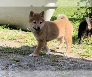 Shiba Inu Puppy for sale in MERRITT IS, FL, USA