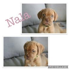 Dogue de Bordeaux Puppy For Sale in VENICE, FL, USA