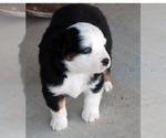 Puppy 4 Miniature Australian Shepherd