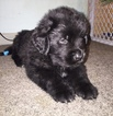 Newfoundland Puppy For Sale in MASSAPEQUA PARK, NY