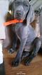Weimaraner Puppy For Sale in VERMILION, OH