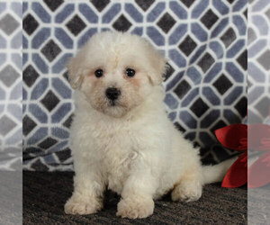 Bichon Frise Puppy for sale in NARVON, PA, USA
