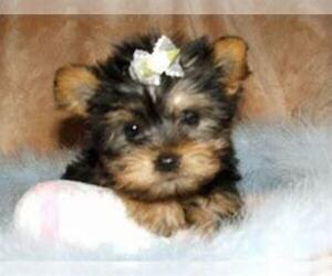 Yorkshire Terrier Puppy for sale in BLACKLICK, OH, USA