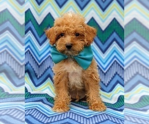 Poodle (Toy) Dog for Adoption in KINZERS, Pennsylvania USA