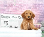 Goldendoodle Puppy For Sale near 21014, Bel Air, MD, USA
