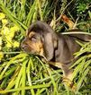 Bloodhound Puppy For Sale in TOCCOA, GA, USA