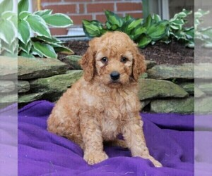Goldendoodle-Poodle (Standard) Mix Puppy for sale in NEW PROVIDENCE, PA, USA