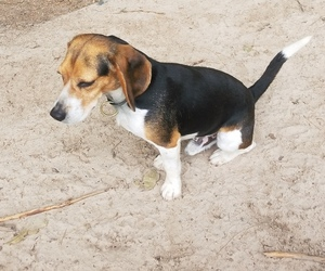 Father of the Beagle puppies born on 10/21/2019