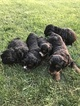 Miniature Bernedoodle Puppy For Sale in SIGOURNEY, IA, USA