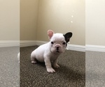 Small Photo #6 French Bulldog Puppy For Sale in SAN DIEGO, CA, USA