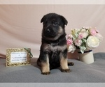 Small Photo #1 German Shepherd Dog Puppy For Sale in KENBRIDGE, VA, USA