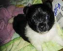 Pomeranian Puppy For Sale in HOUSTON, TX,