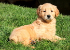 Golden Retriever Puppy For Sale in MOUNT JOY, PA, USA