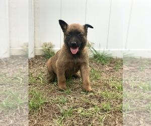Belgian Malinois Puppy for sale in WAYCROSS, GA, USA