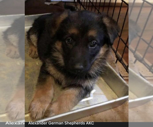 German Shepherd Dog Puppy for Sale in LOUISA, Virginia USA