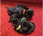 Small Photo #2 Labrador Retriever Puppy For Sale in CLARKESVILLE, GA, USA
