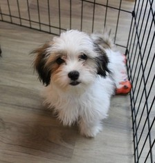Coton Tzu Puppy For Sale in MURRIETA, CA