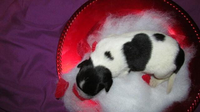 Medium Photo #4 Newfoundland Puppy For Sale in CLINTON, AR, USA