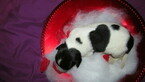 Small Photo #4 Newfoundland Puppy For Sale in CLINTON, AR, USA