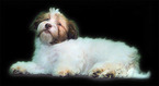 Havanese Puppy For Sale in FENTON, Missouri,