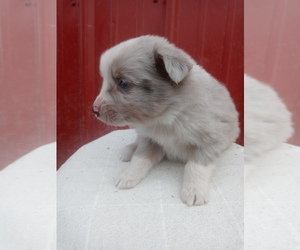 Miniature Australian Shepherd Puppy for sale in NILES, MI, USA