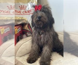 Soft Coated Wheaten Terrier Dog for Adoption in TEMECULA, California USA