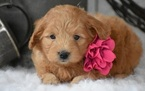 Goldendoodle (Miniature) Puppy For Sale in SAN FRANCISCO, CA, USA