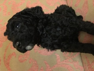 Poodle (Miniature) Puppy For Sale in BATTLE GROUND, WA, USA