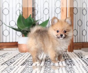 puppies for sale in odessa tx view ad pomeranian puppy for sale near texas odessa usa 3491