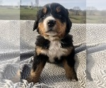Puppy 8 Bernese Mountain Dog