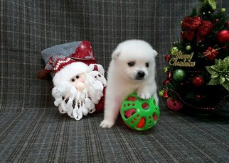 Japanese Spitz Puppy for Sale in LOS ANGELES, California USA