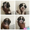 Shih Tzu Puppy For Sale in SOUTH AMBOY, NJ, USA
