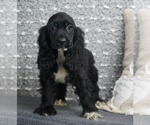 Cocker Spaniel Puppy for Sale in WARSAW, Indiana USA