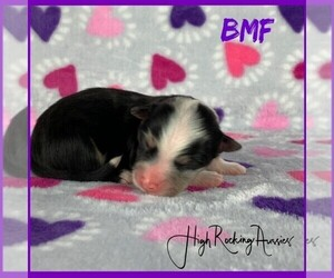 Miniature Australian Shepherd Puppy for Sale in FORT JONES, California USA