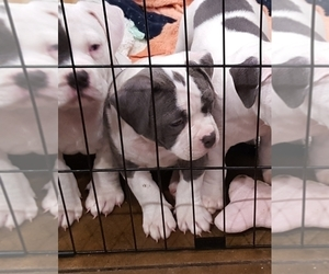 American Bully Puppy for Sale in DICKSON, Tennessee USA
