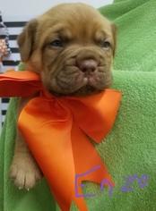 Dogue de Bordeaux Puppy For Sale in BESSEMER, AL, USA