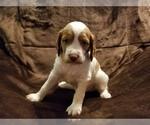 Puppy 1 Brittany