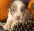 Australian Shepherd Puppy For Sale in LYNN, IN, USA