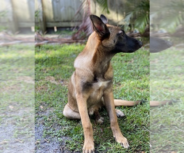 Medium Photo #5 Belgian Malinois Puppy For Sale in MELBOURNE, FL, USA