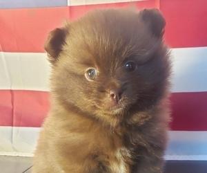 Pomeranian Puppy for sale in BALLSTON SPA, NY, USA